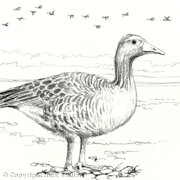 Pink foot goose greeting card