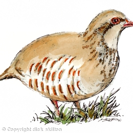 Partridge coloured , pack of six greeting cards