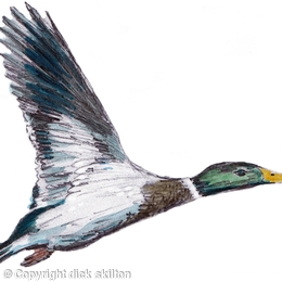 mallard male (wings up 6 greeting cards