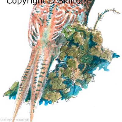 Pheasant on Ivy