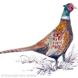 male pheasant watercolour
