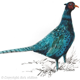 Pheasant melanistic male