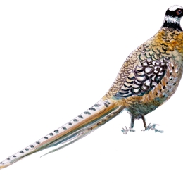 Reeves pheasant painting for shoot card image