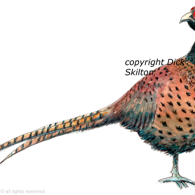 Pheasant old English black neck possible shoot card image