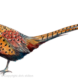 Ring neck pheasant colourful image that can be used on a bespoke shoot card
