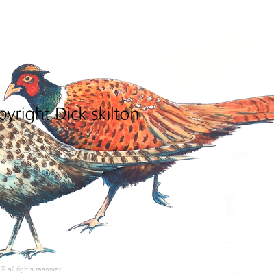 Pheasants male and female walking, possible shoot card image