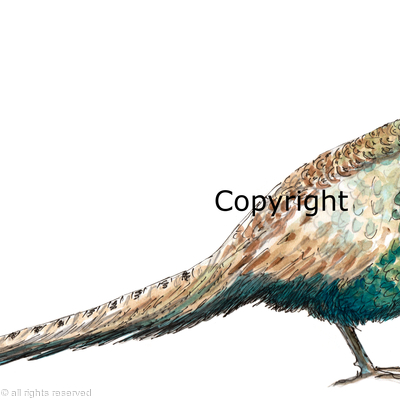 Japanese Green Pheasant painting, image for shoot card or shooting invitation card