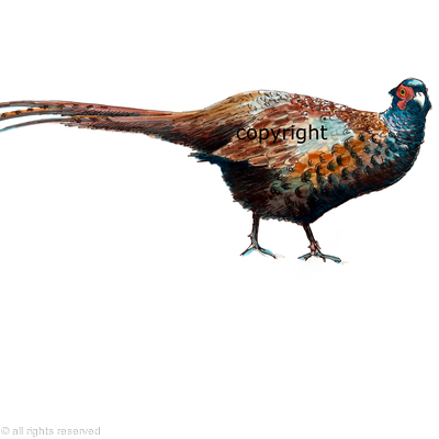 Pheasant part melanistic pencil pen watercolour for shoot card image