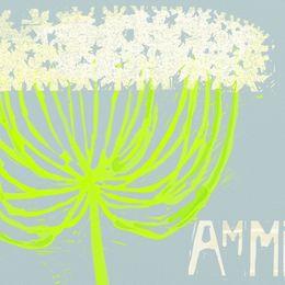 Ammi Major