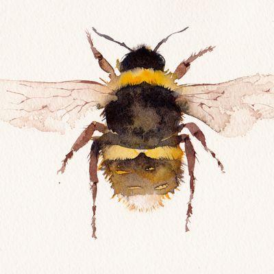 Broken Belted Bumblebee