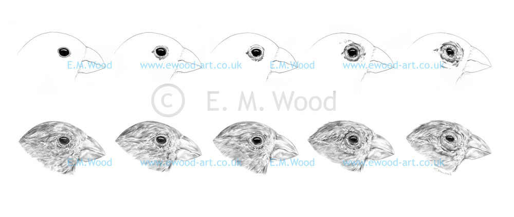 Stages of conjunctivitis in house finches