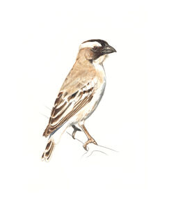 white browed sparrow weaver, male