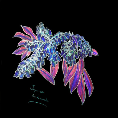 Japanese Andromeda - Negative