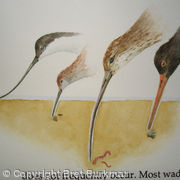 Waders Feeding Illustration