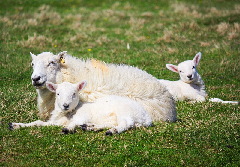 Newly born spring lambs, without a thought of the rain