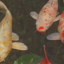 Green Rock Japanese Koi I