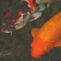 Green Rock Japanese Koi II
