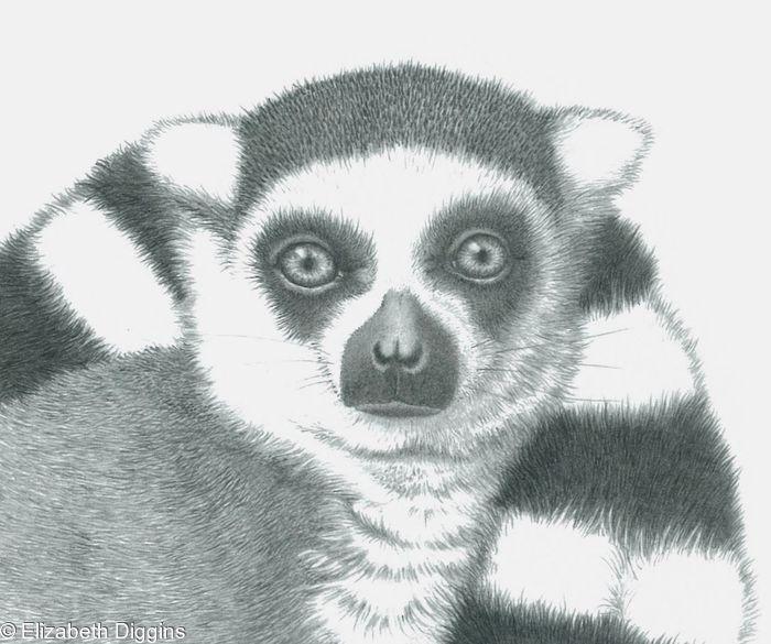 Ringtailed Lemur 2