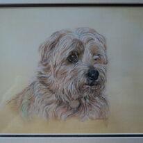 Norfolk Terrier - Toffee !