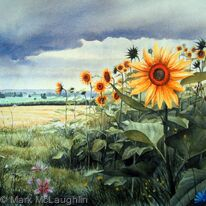 Sunflowers with gathering rain