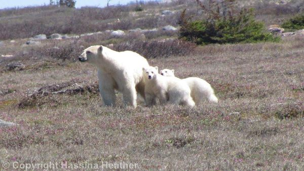 Polar Bears in Churchill, MB.