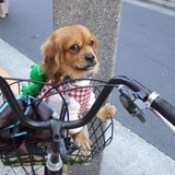 Basket Doggie