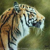 Sumatran Tiger 1