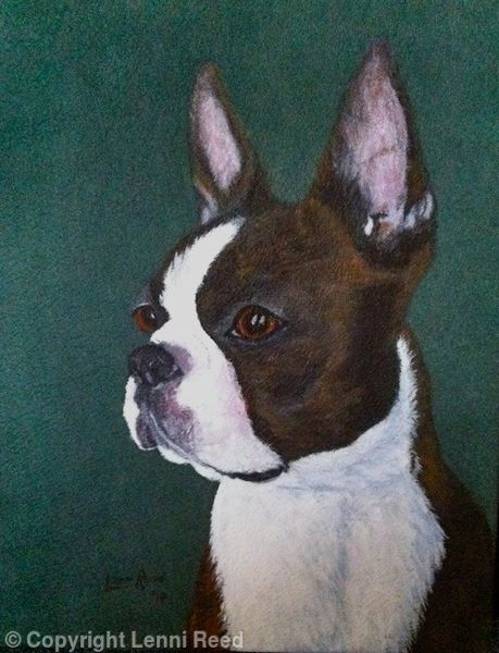Boston Terrier -