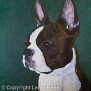 Boston Terrier -