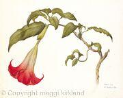 Datura rosei