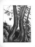 Pines (in Alexandra Park)
