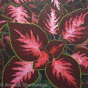 Coleus Plant 3