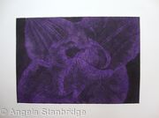 Compostella Tulip Aquatint Etching Purple