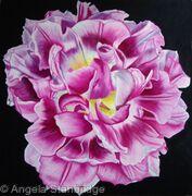 Pink Dwaf Tulip