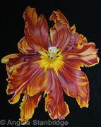 Terracotta Tulip