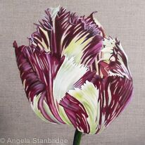 Tulip Purple Crystal 1