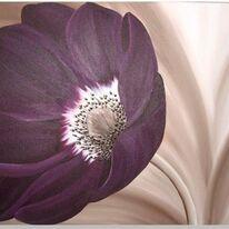 Velvet Anemone