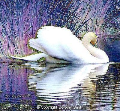 164634_swan.jpg