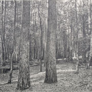 Forest Drawing I
