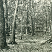 Forest Drawing II