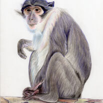 Mangabey Monkey