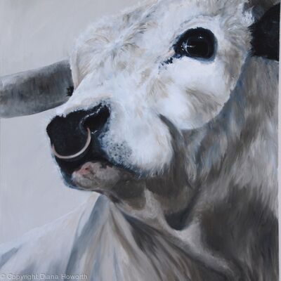 White Park Bull - For Sale