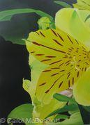 Lemon Alstroemeria