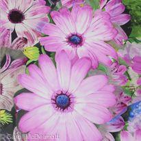 Reflections of Osteospermum