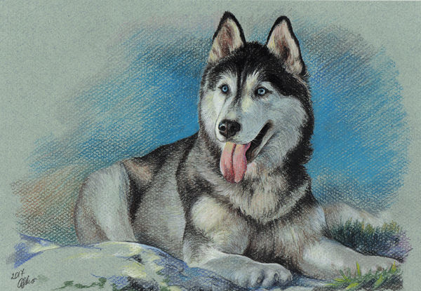 Colorful realistic Pet Portrait, Siberian husky. Pet Painting, Dog Drawing, Animal Portrait, Dog Lovers,  Personalized pastel portrait on colored paper.
