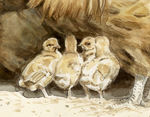 Buff Orpington Family (detail)