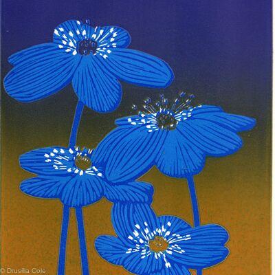 Hepatica ( blue)