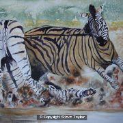 zebras-fighting