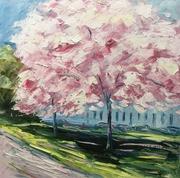 Cherry blossom, Montpellier