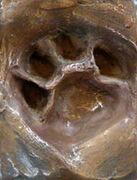 22 week Leopard cub pug mark